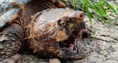 السلاحف العملاقة