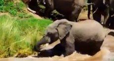 قطيع افيال ينقذ فيل صغير