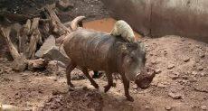 تيمون وبومبا فى أدغال أفريقيا