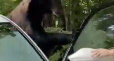 اقتحام الدب للسيارة