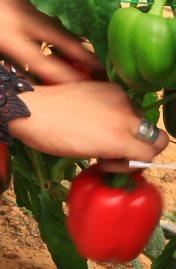 مشروع الصوب الزراعية